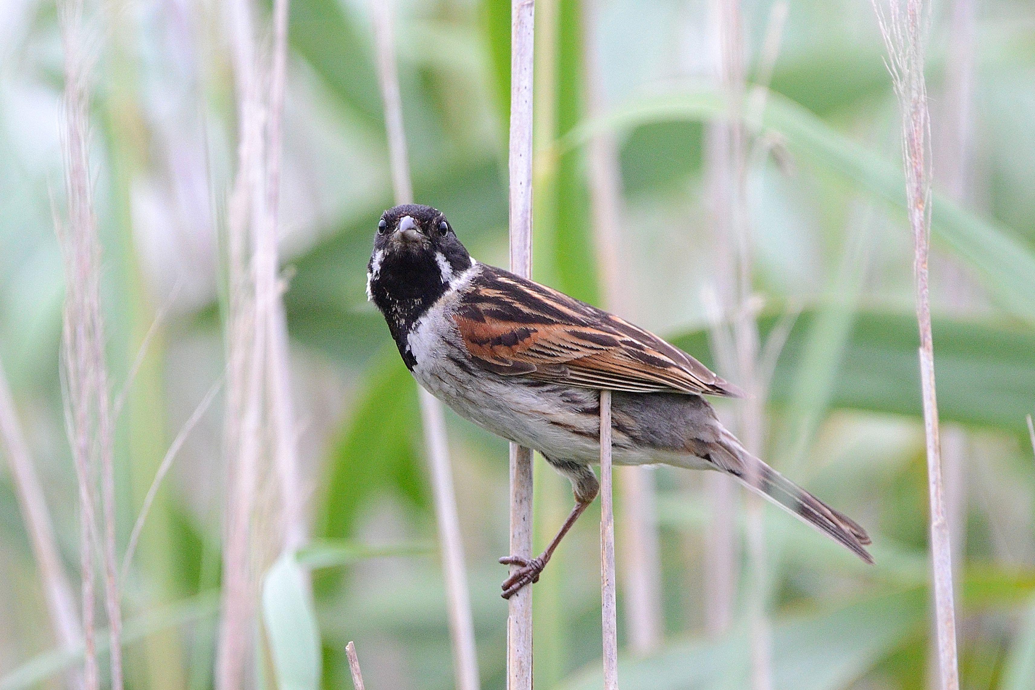 Emberiza schoeniclus. Escribenta das canaveiras. Ornitoloxia.
