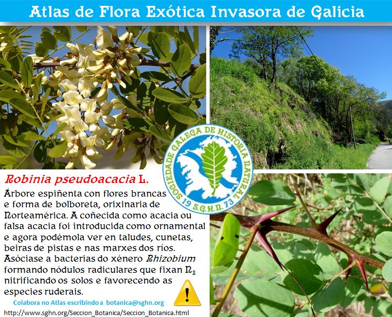 Ficha de identificación de Robinia pseudoacacia no Atlas de Flora Exótica Invasora de Galicia de SGHN