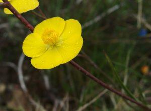 Ranunculus bupleroides ssp. bupleroides