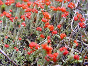 Lique. Cladonia floerkeana