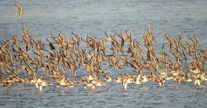 Limosa limosa. Censos de aves acuaticas invernantes