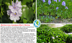 Xacinto de auga. Eichhornia crassipes