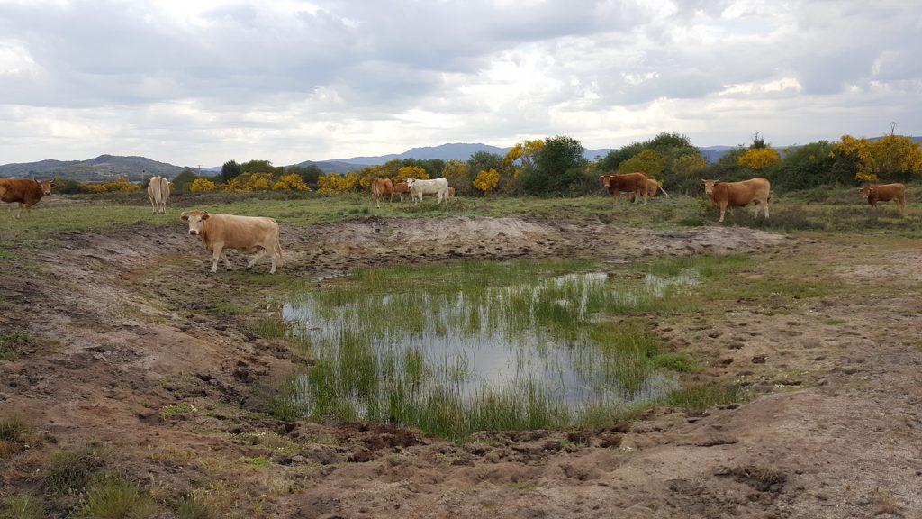 Vacas Veiga de Gomareite