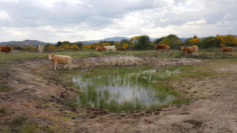Vacas pacendo na Veiga de Gomareite