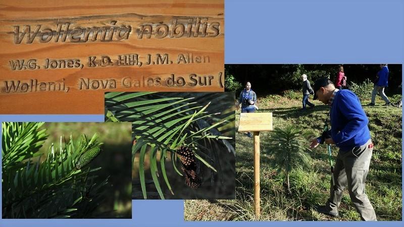 Arboreto de Lourizán: Wollemia nobilis