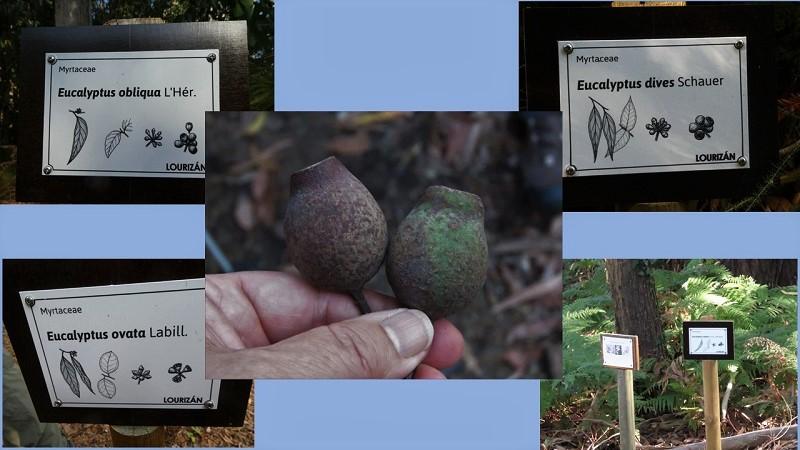 Arboreto de Lourizán: Eucalyptetum
