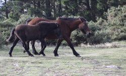 Garranos (Equus ferus atlanticus) na Serra da Capelada