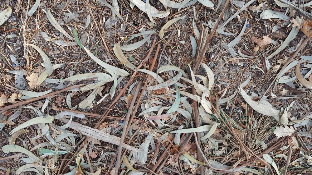 Follasca de Eucalyptus globulus