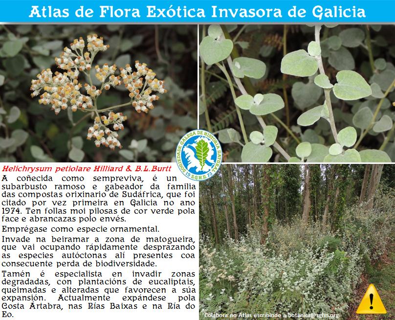 Helichrysium petiolare Hilliard & B.L.Burtt
