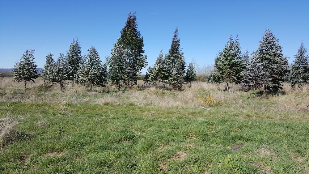 Plantación ilegal de eucaliptos en predio agrícola da parcelaria